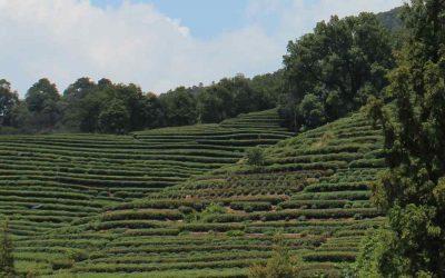 Como preparar el té verde para disfrutar de todos sus beneficios para la salud
